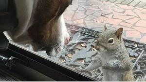 Wiewiórka codziennie hałasuje przy drzwiach, by zwrócić na siebie uwagę. 8 lat p