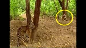 Gibon kontra dwa tygrysy. To najzabawniejsze starcie mijającego roku!