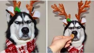 6 zdjęć psa, który zdecydowanie nie lubi świąt... Ten husky już jest gwiazdą!