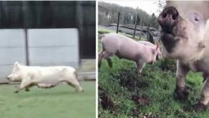 Radość świnek po tym, jak zostały uratowane z rzeźni, jest niesamowita!