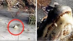 Nie uwierzycie, co robią aligatory, by przetrwać srogą zimę w USA!