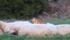 Pies strzeże owiec,  ale jego sposób wywołuje niepohamowany śmiech!