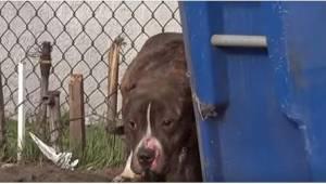 Przestraszony pitbull chował się za śmietnikiem, bo bał się, że dzieci znowu będ