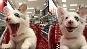 4-miesięczny szczeniak pokochał zakupy w supermarkecie! Zobaczcie jego genialną