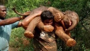 Mężczyzna uratował młodego słonia i na własnych ramionach zaniósł go do matki.