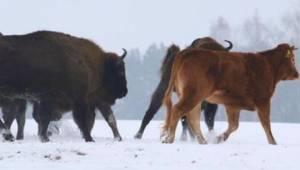 Krowa miała trafić pod rzeźnicki nóż, ale zawalczyła o własne życie w nietypowy