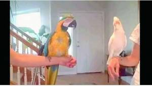 Takiej rywalizacji między papugami jeszcze nie było! Musicie to zobaczyć.
