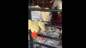 Właściciele chcieli sprawdzić, jak koń zareaguje na widok pluszowego misia. Tego