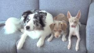 Trzy psy siedzą na kanapie, obserwuj uważnie co zaraz zrobią.