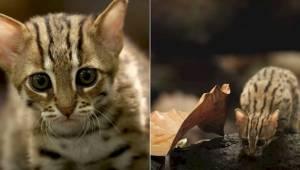 Poznajcie gatunek kotka rudego - najmniejszego przedstawiciela kotowatych i chyb