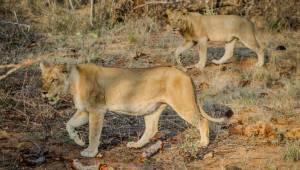 Lwy zjadły mężczyznę, który najprawdopodobniej był kłusownikiem zabijającym lwy