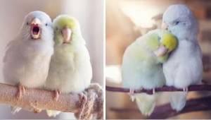Wspaniałe zdjęcia, które uwieczniły miłość między papużkami, roztopią Twoje serc