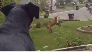 Zazdrosny pies patrzy na lisa bawiącego się jego zabawkami w ogrodzie. Jego reak