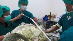 Żółw został zoperowany na weterynaryjnym ostrym dyżurze. To, co znaleźli w jego