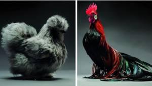 Fotograf wybrał sobie na modeli... kury i koguty. O dziwo, efekt jest świetny!