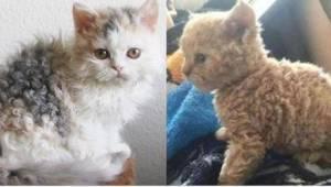 """Kocie """"pudle"""" robią furorę w sieci! Widzieliście kiedyś podobnego kota?"""