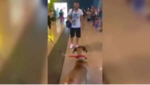 Na lotnisku na swojego pana czekał pies. Jego reakcja na widok znajomej twarzy s