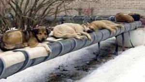 W Rosji zamiast zakładać schroniska i sterylizować bezpańskie zwierzęta, stosują