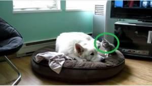 Pies chce spać, ale kotek ma inne plany. To nagranie wywołuje uśmiech.