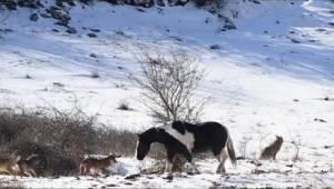 Koń kontra wilki - takiego zakończenia tego spotkania nikt się nie spodziewał, a