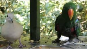 Papuga uparła się, że zaprzyjaźni się z gołębiem. Koniecznie włączcie dźwięk.
