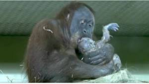 Wyjątkowe nagranie pokazujące, jak rodzi się orangutan.