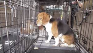 9 psów rasy beagle spędziło w klatce całe swoje dotychczasowe życie... Aż do ter