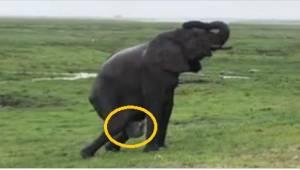 Słonica zaczęła rodzić, a już po chwili inne słonie zrobiły dla niej coś piękneg