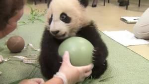 Urocza panda bawi się piłką. Zobaczcie, co się dzieje, gdy ktoś chce jej ją zabr