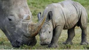 Przykra wiadomość z Kenii - odszedł ostatni samiec nosorożca białego.