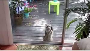 Szop zaczął uderzać kamieniem w jej szklane drzwi. Powód? Nie uwierzycie!
