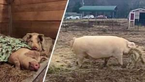 To, co jedna z tych świń robi dla drugiej, zmieni Wasze postrzeganie tych zwierz