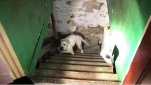 W piwnicy swojego domu znalazł przykutego do łańcucha pitbulla. Reakcja psa na j