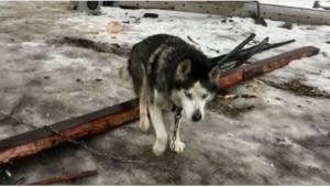Husky był przywiązany do łańcucha przez 15 lat aż w końcu trafił na właściwego c