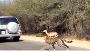 Antylopę ścigały dwa głodne gepardy. Turystów zaskoczyło to, co się potem stało.