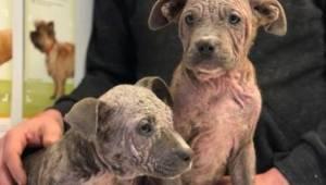 Te dwa szczeniaki zostały porzucone przez byłego właściciela ponieważ straciły c