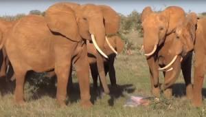 Fotograf zaczął nagrywać stado słoni i nagrał coś rzadkiego i wyjątkowego!