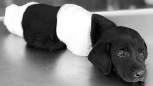 Odcięli nogi szczeniakowi, a następnie zostawili go w lesie by umarł.