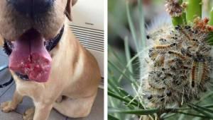 Specjaliści ostrzegają: jeśli zobaczysz te gąsienice lepiej odejdź jak najszybci