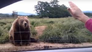 Kobieta pomachała z samochodu do niedźwiedzia, zobacz jego nieoczekiwaną reakcję