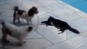 Dwa psy drażnią kota przy basenie, ale za chwilę dostają lekcję której długo nie