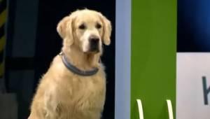 Pies musi pokonać tor przeszkód tak szybko, jak to możliwe lecz jego nieoczekiwa