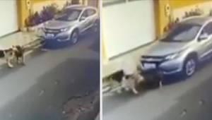 Pielęgniarka celowo przejechała dwa owczarki niemieckie samochodem, tylko jeden