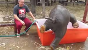 Opiekun nalewa wody do basenu dla małego słonia, jednak niezdarne zwierze chce u