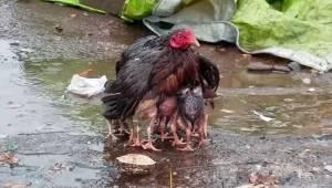 Mama kura próbuje chronić swoje pisklęta przed deszczem. Rozłożyła skrzydła i st