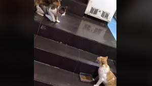 Dwa koty zaraz zaczną walkę. Wtedy zjawia się golden retriever i robi coś czego