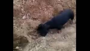 Sposób w jaki pies pomaga swojemu panu w pracy w polu jest świetny, to nagranie