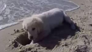 Szczeniak kopie dziurę w piasku, jego reakcja po tym jak fala ją zalewa jest gen
