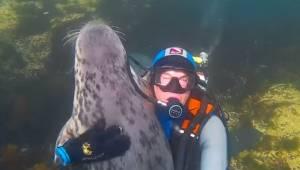 Przepiękne nagrania: dzikie foki przytulają się do nurków.
