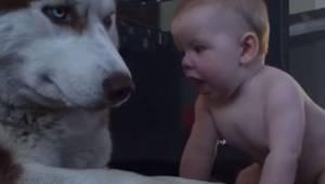 Dziecko raczkuje w stronę psa husky. Film z reakcją psa obejrzało ponad 14 milio